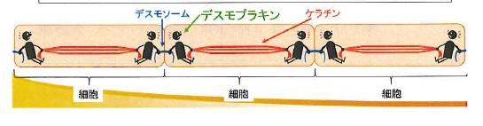 デスモプランキンの説明の画像