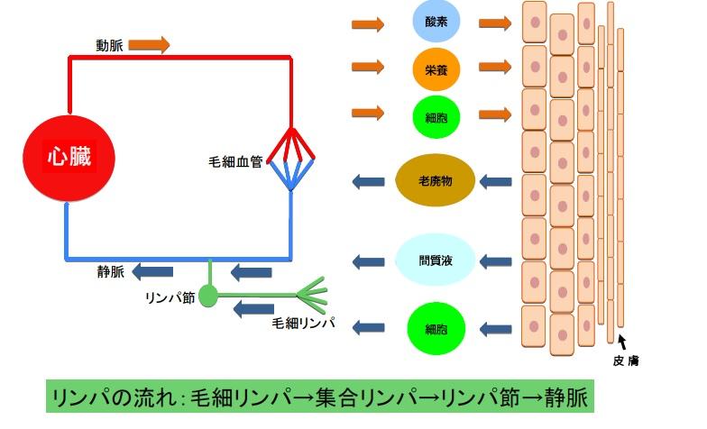 脈管系の流れ