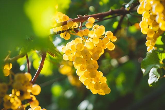 シャルドネ種 ブドウの画像
